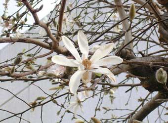 こぶしの花の蕾は「辛夷(しんい)」といい鼻づまりに用いる